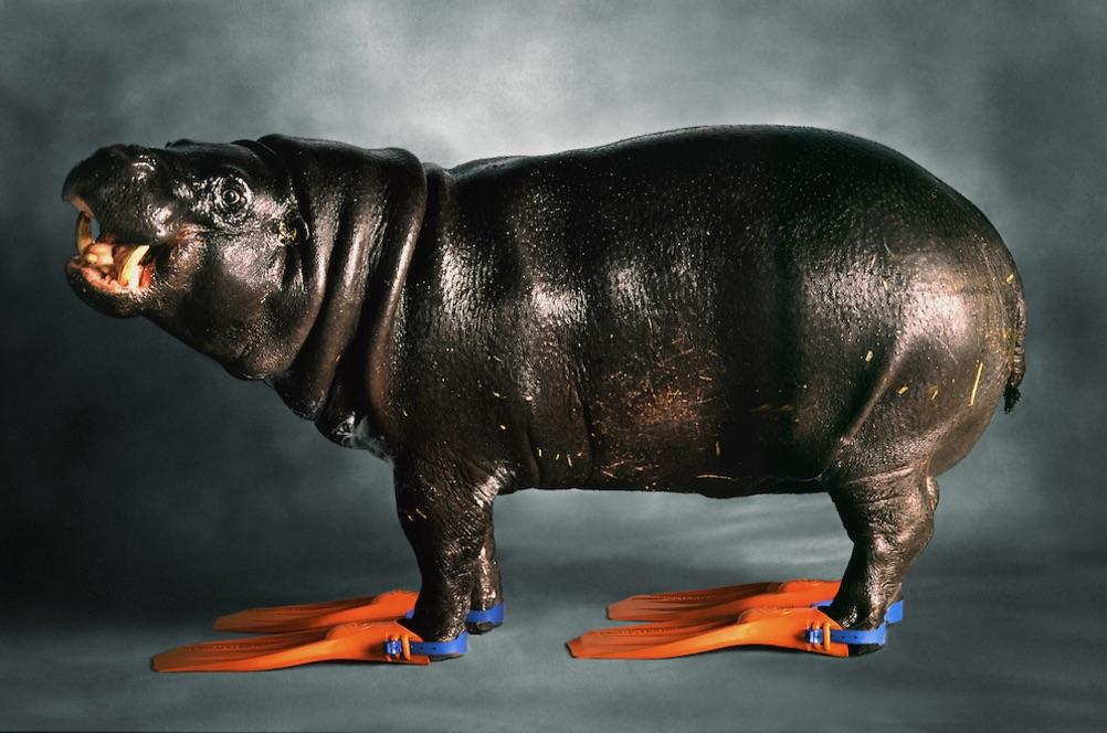 Hippo in flippers. Photo: Simon Murrell/Animal Ark