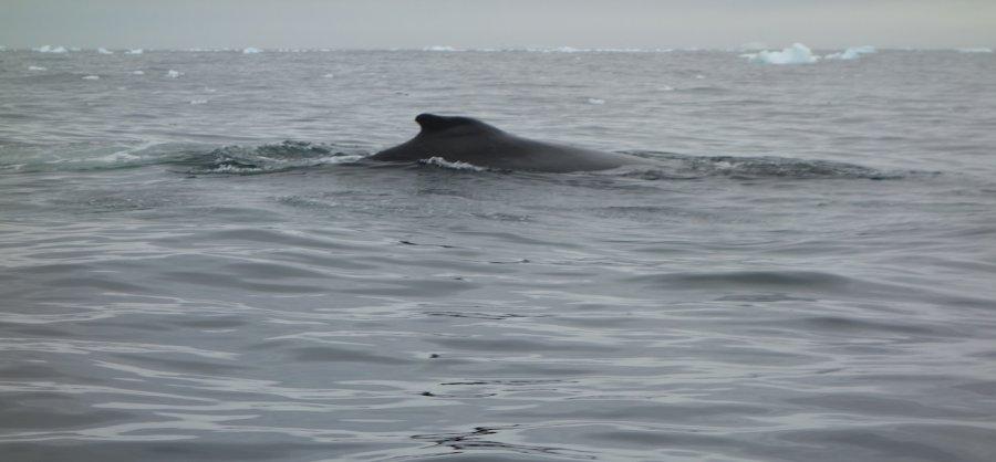 Humpback whale fin, Antarctica. Photo: Animal Ark