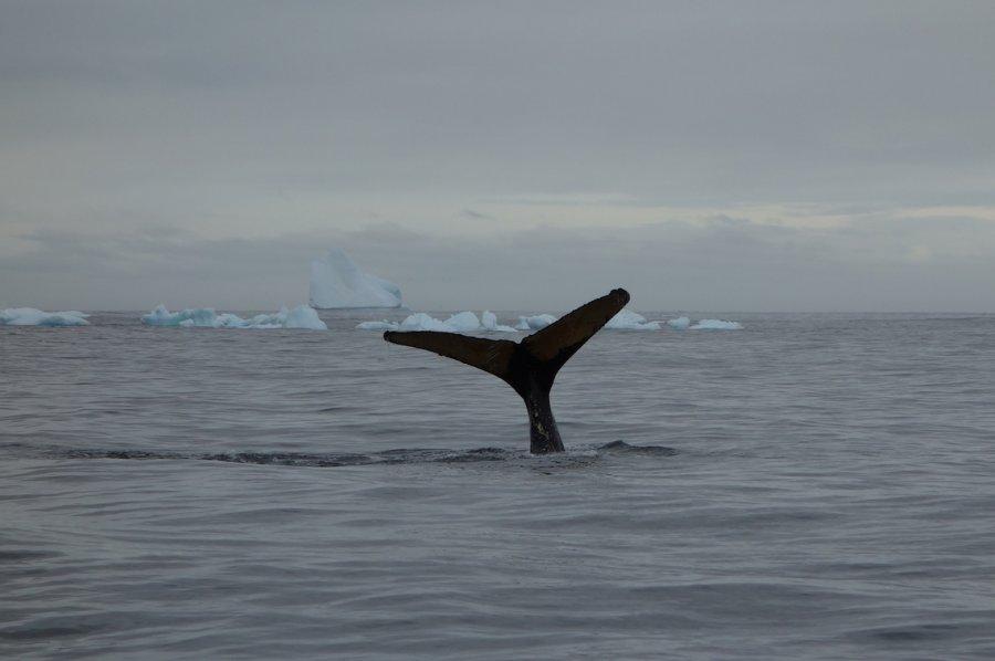Humpback whale tail, Antarctica 2018. Photo: Animal Ark