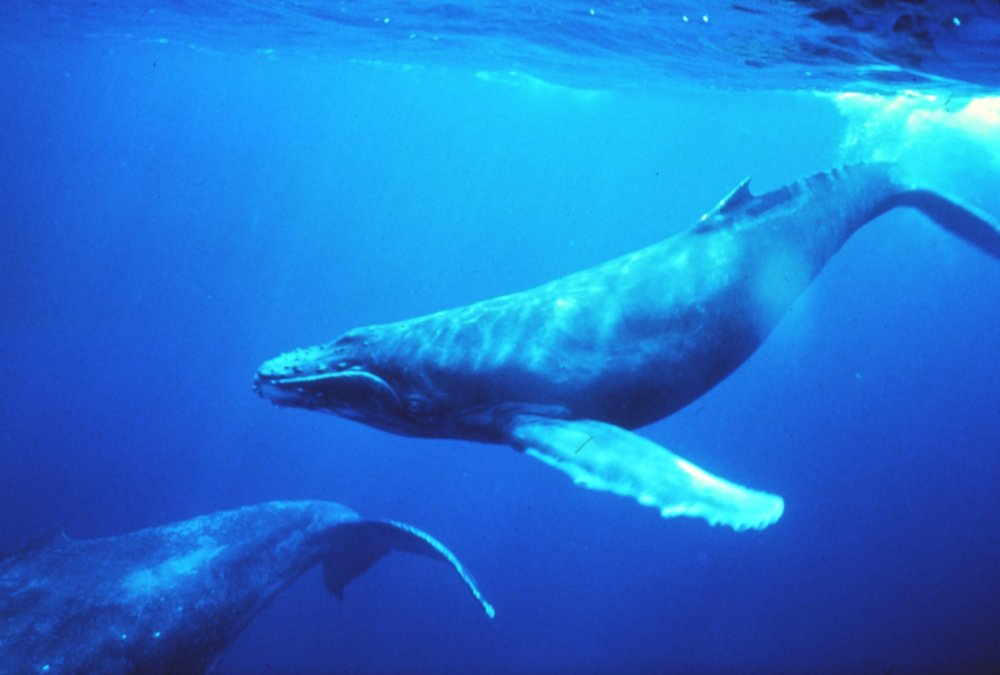 Humpback whales in singing position. Photo: NOAA photo library, Dr Louis M Herman, Wikimedia Commons