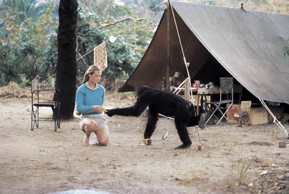 Jane Goodall and David Graybeard. Photo credit: Hugo van Lawick, Courtesy Jane Goodall Institute