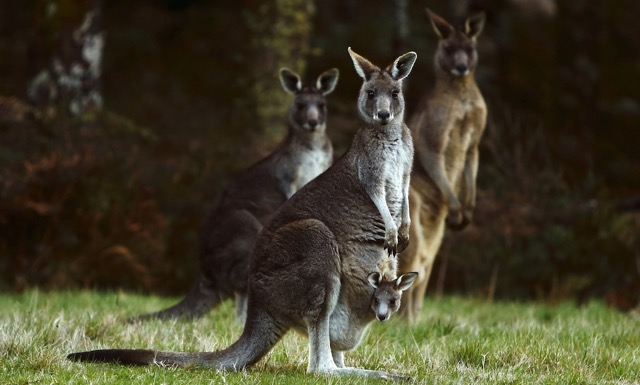Kangaroos. Photo Darrin Zammit Lupi Reuters