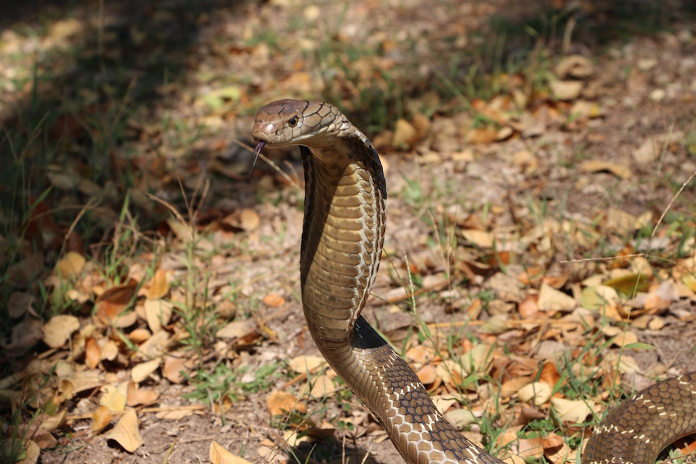 King cobra (Ophiophagus hannah). Photo Javier Perez de Arce