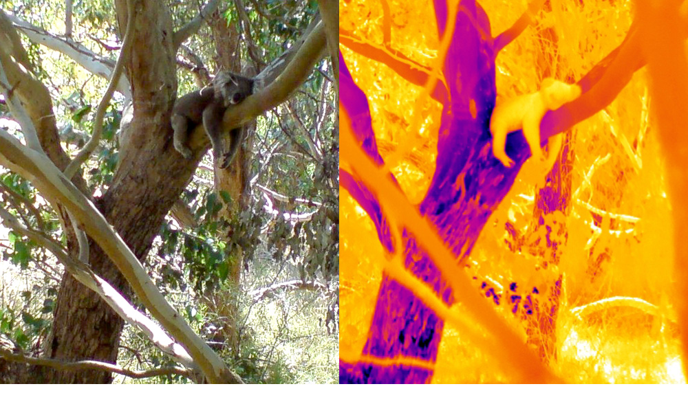 Koala tree hugging to cool body temperature. Photo © Steve Griffiths