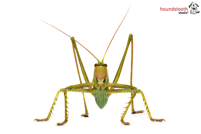 Large katydid from Western Australia. Photo Alex Cearns Houndstooth Studio