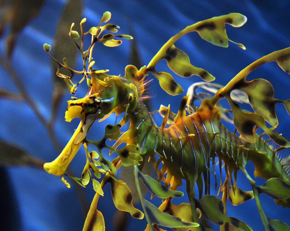 Leafy sea dragon (Phycodurus eques). Photo Ta graphy via Wikicommons