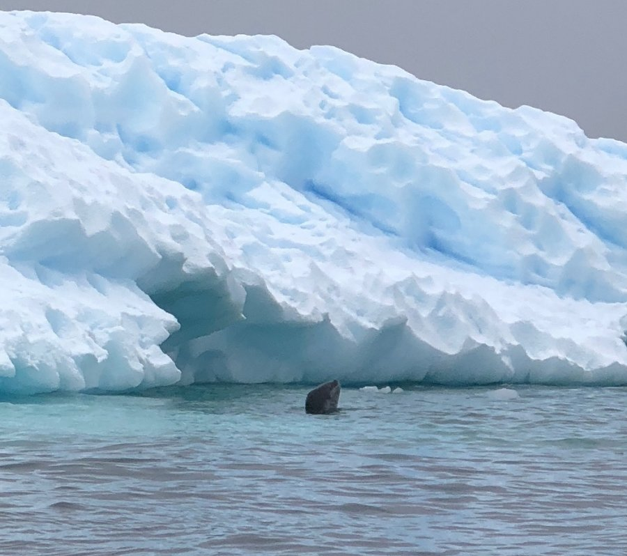 Leopard seal hunting, Antarctica. Photo: Animal Ark