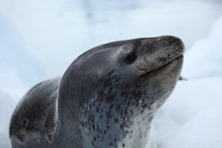 Leopard seal in Pleneau Bay, Antarctica. Photo: Liam Quinn, Wikimedia commons