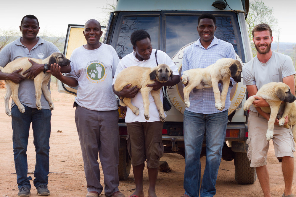 Livestock guardian dogs from Ruaha Carnivore Project. Puppies arriving at RCP. Photo: Prode Lion Conservation Alliance