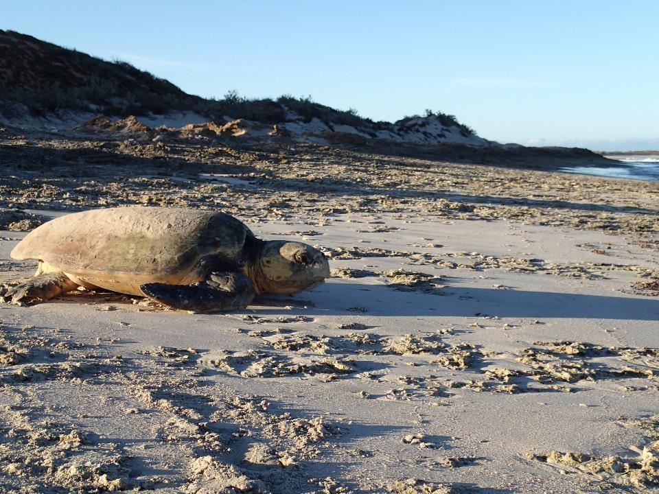 Loggerhead turtle (Caretta caretta) returns to ocean. Photo Gnaraloo