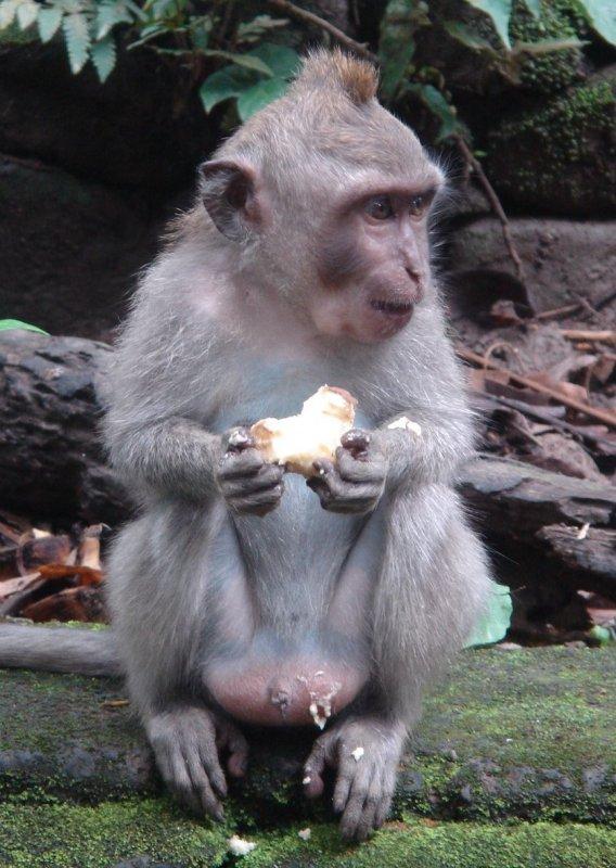 Macaque monkey. Image © Animal Ark