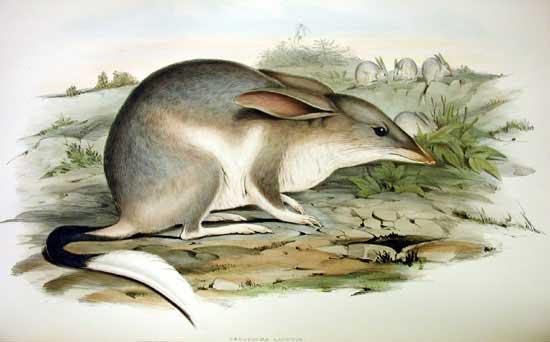 Macrotis lagotis Gould imag -wikicommons