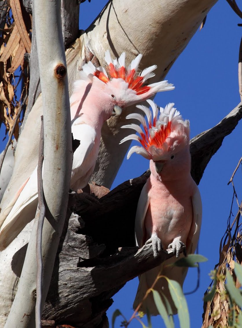 Major Mitchells cockatoo (Lophocroa leadbeateri) both crests. Photo: Christopher Watson, Wikimedia Commons