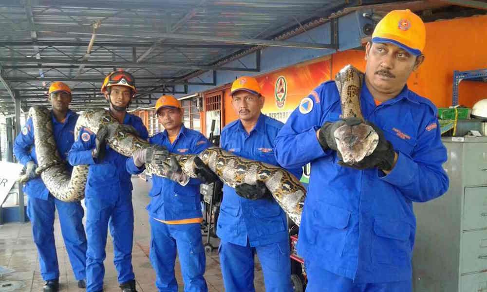 Malaysian python. Photo Herme Herisya, Malaysia's Civil Defence Force