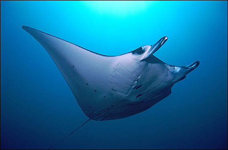 Manta Ray. Neel Rajan javabackpacker.blogspot.com.au