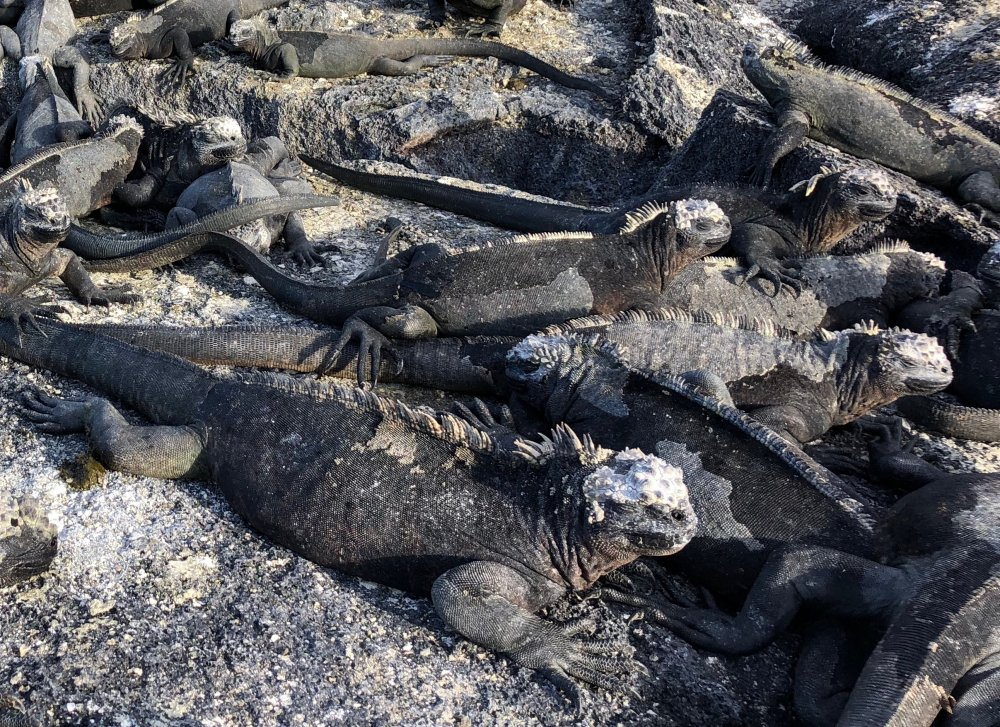Marine iguanas, Fernandina Island, Galápagos. Photo: Animal Ark