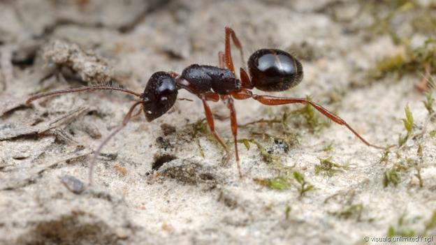 Melophorus ant australia. Photo Visuals Unlimited NPL