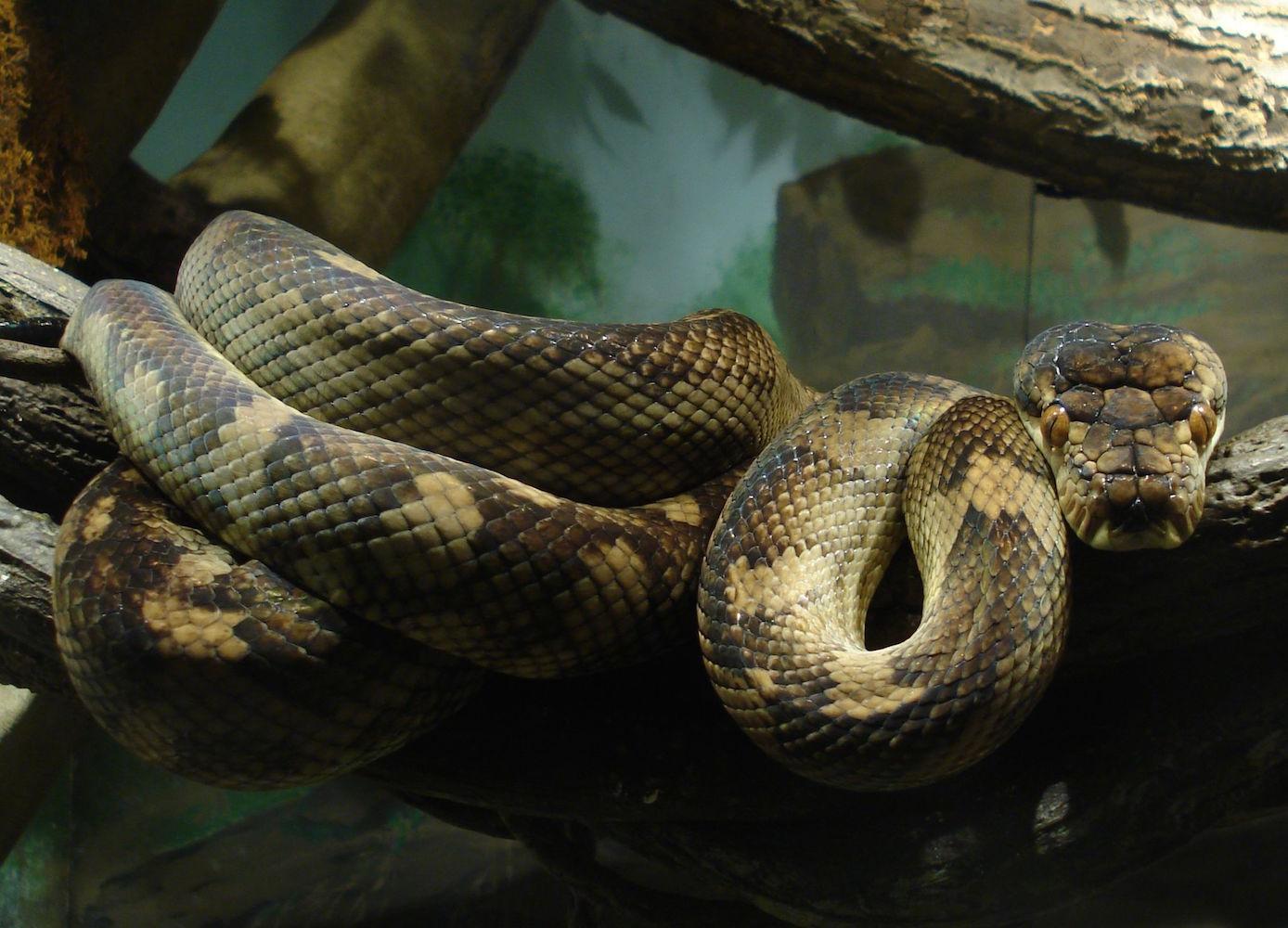 Morelia amethystina Bronx zoo, New York City. Photo © One Dead President / Wikimedia Commons