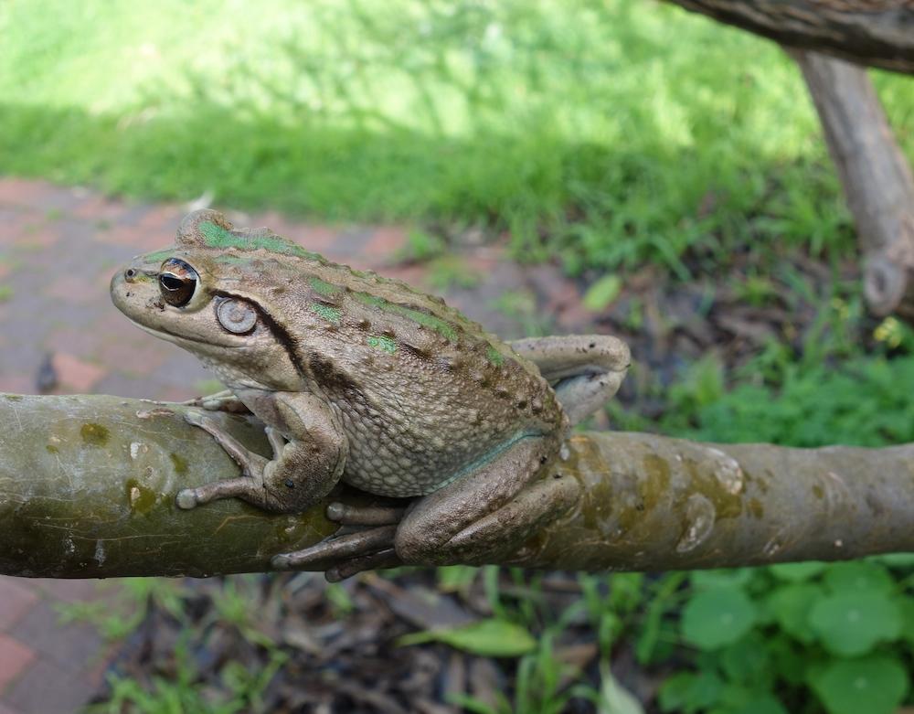 Motorbike frog (Litoria moorei). Photo © Animal Ark