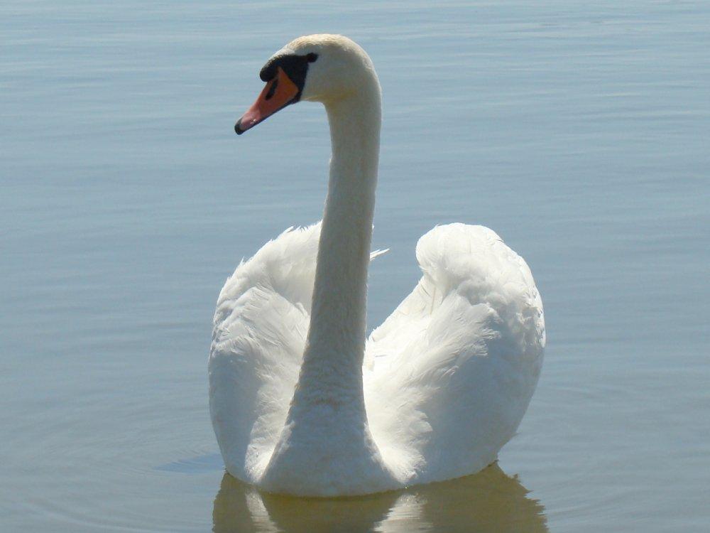 Mute Swan. Photo: Mindaugas Urbonas, Wikimedia Commons