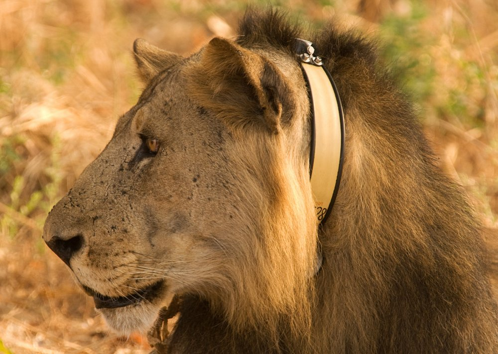 Niassa Lion Project: Photo cmbegg