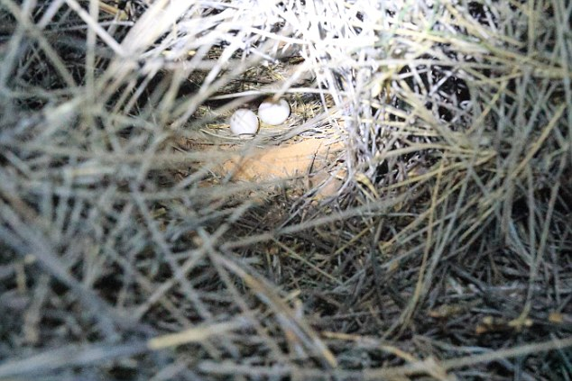 Night parrot nest with eggs. Photo: Steve Murphy, Dailymail