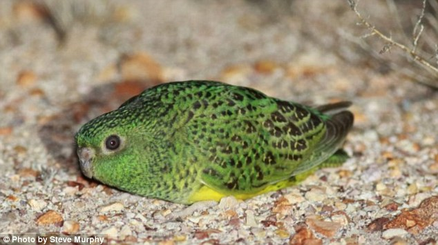 Night parrot. Photo: Steve Murphy, Dailymail