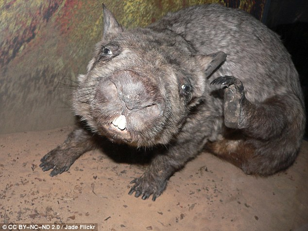 Northern hairy nosed wombat. Photo Jade Flickr/dailymail.co.uk