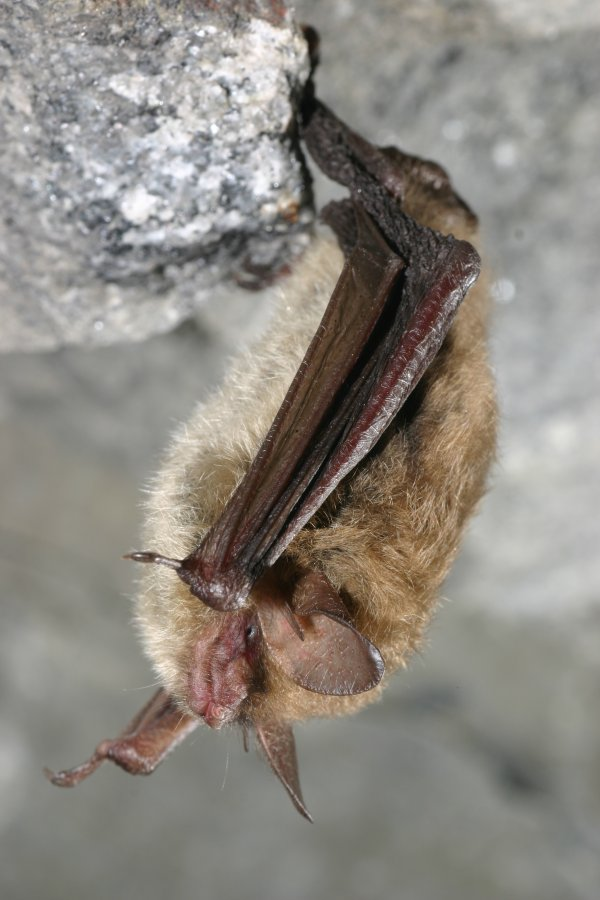 Northern long-eared bat (Myotis septentrionalis). Photo: US Fish and Wildlife Service Headquarters, Wikimedia Commons