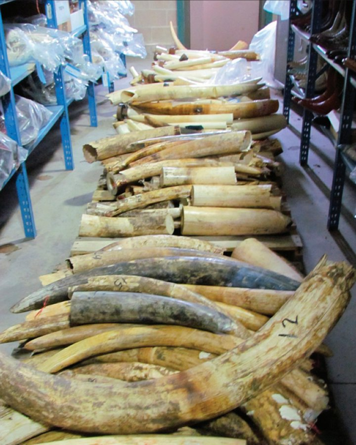 Pallet of seized raw ivory. Photo: USFWS, Wikimedia Commons