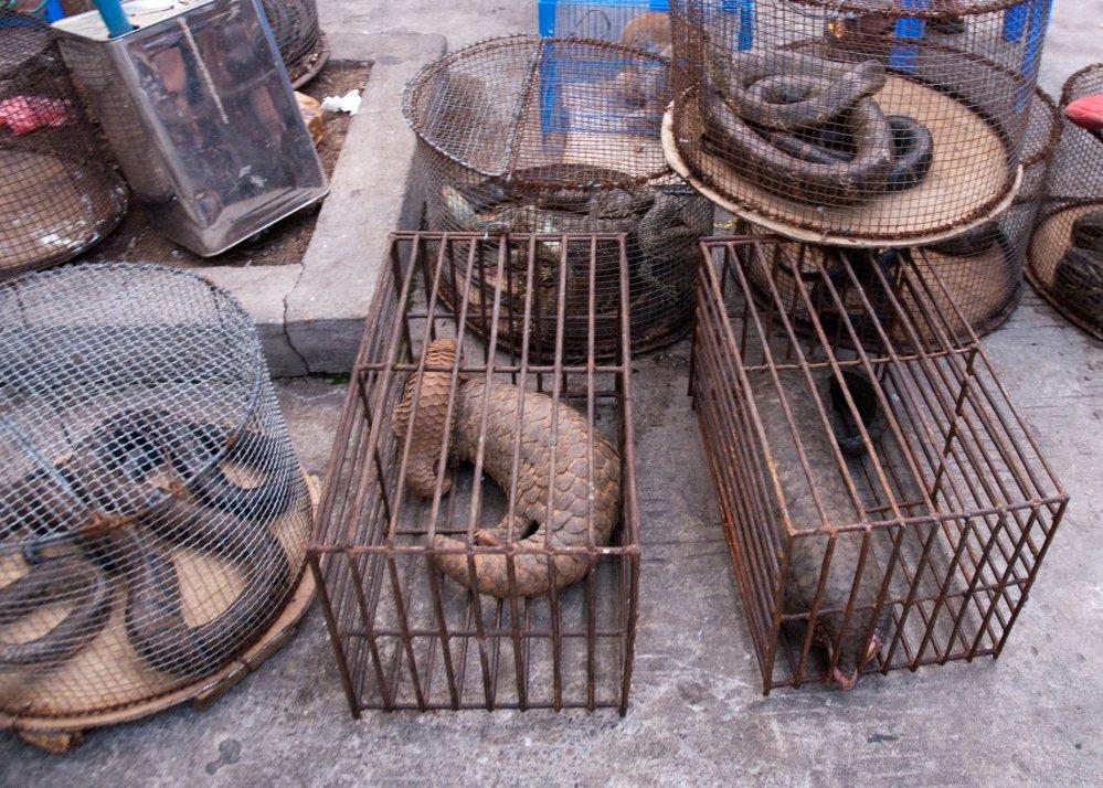 Pangolins in rectangular cages in illegal wildlife market, Myanmar. Photo: Dan Bennett, Wikimedia Commons