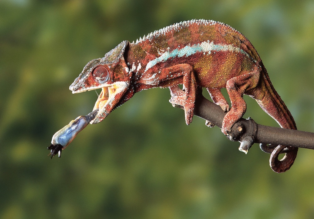 Panther chameleon with bug on tongue. Photo Animal Ark