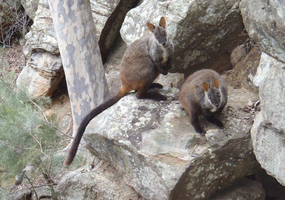 Petrogale penicillata Brush tailed Rock wallabies. Photo: Mark Hodgins, Wiki Commons