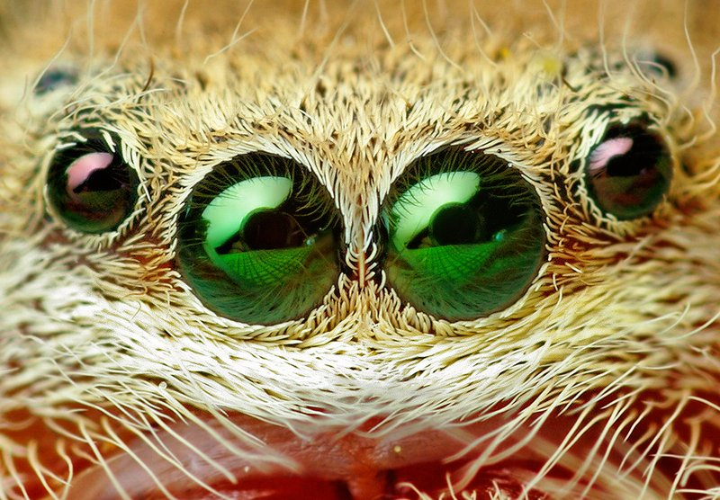 Eyes of the Jumping Spider (Phidippus pius). Photo: Opoterser - Wikimedia-commons.