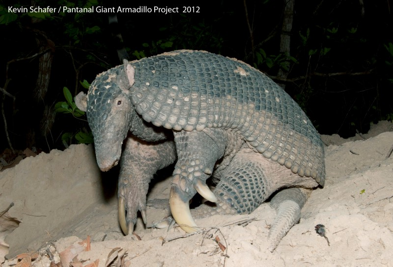 photo Kevin Schafer Pantanal Giant Armadillo Project