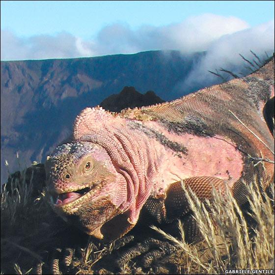 Pink iguana (Conolophus marthae). Photo © Gabiele Gentile