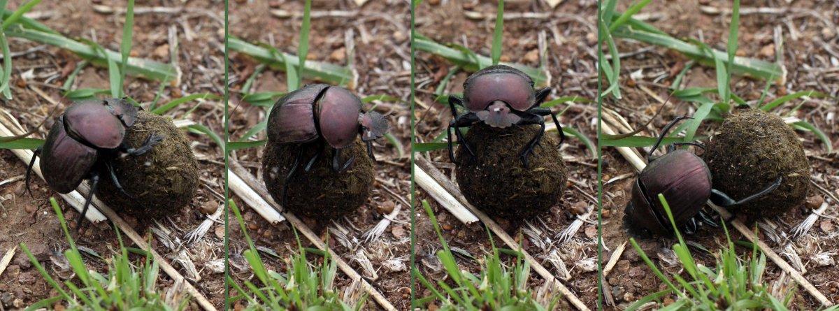 Plum dung beetle (Anachalcos convexus) composite. Photo: Charlesjsharp, Wikimedia Commons