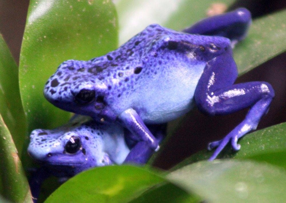 Poison dart frog. Photo: cuatrok77, Wikimedia Commons