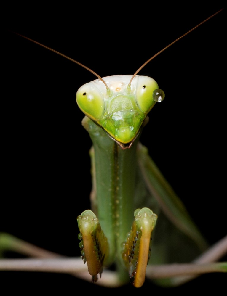 Praying mantis. Photo Alex Cearns Houndstooth Studio