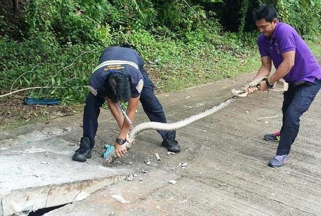 Python stuck in hole - Phuket Thailand. Photo Daily Mail, UK