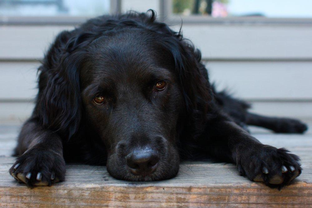 Reclining black dog. Photo: Joe Parks, Wikimedia Commons