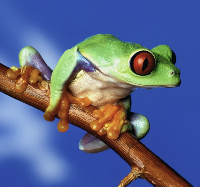 Red eye tree frog. Photo: Animal Ark