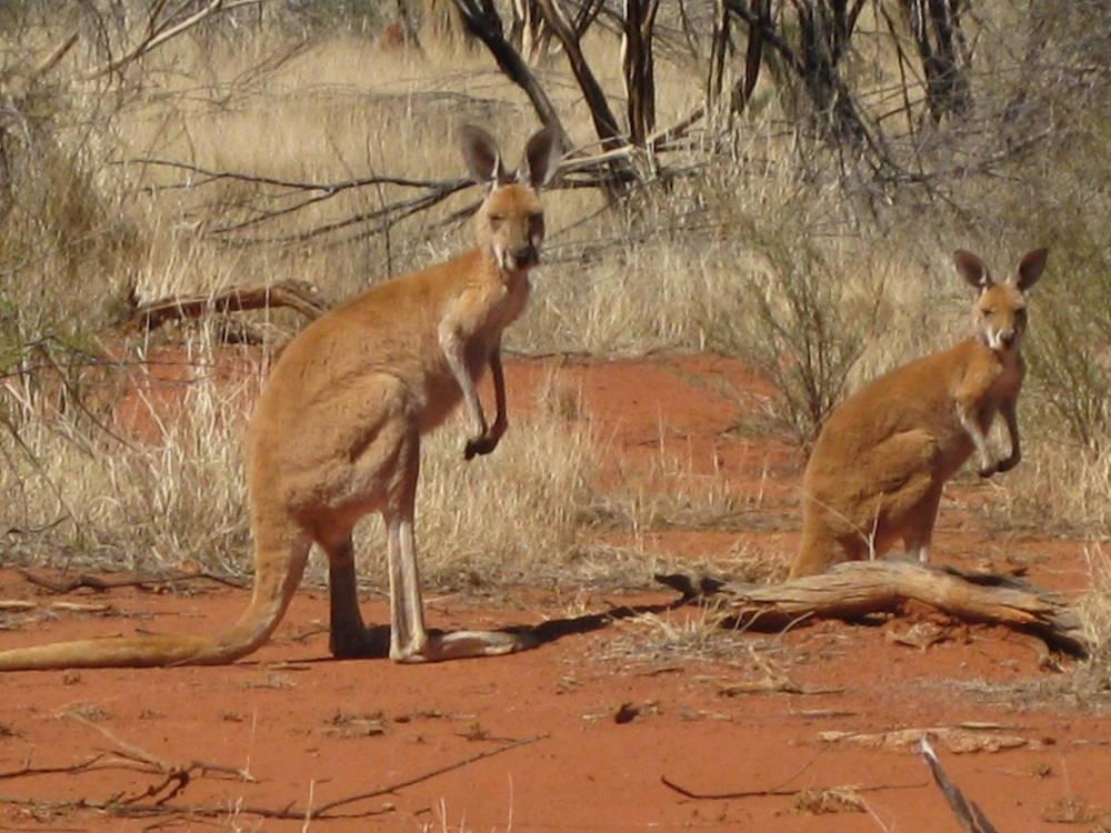 Red kangaroos on Angas Downs. Photo AWS10 - Jenny Smits via Wikicommons