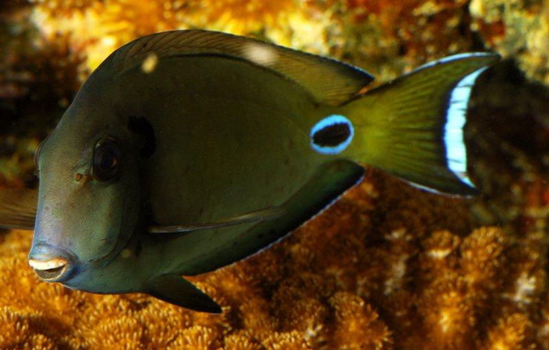 Reef fish with false eye spot. Photo: Animal Ark