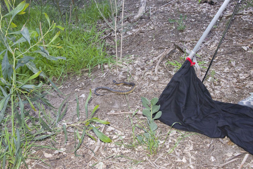 Reptile removalist - catch and relocate snake. Photo: Animal Ark
