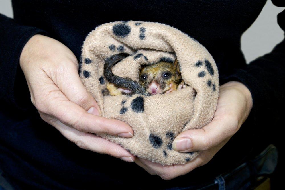 Rescue possum joey. Photo: Monica Iseppi