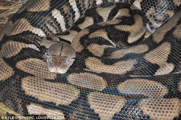 Reticulated python. Photo Kyle Shepherd, Louisville zoo