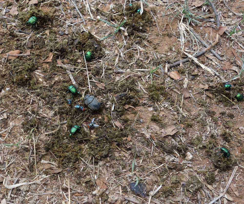 Rhino dung and dung beetles in Botswana. © David Manning, Animal Ark