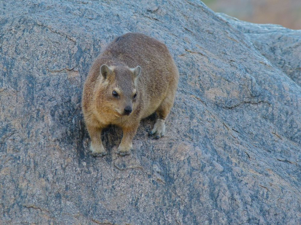 Rock hyrax (Procavia capensis). Photo: Bernard Dupont, Wikimedia Commons
