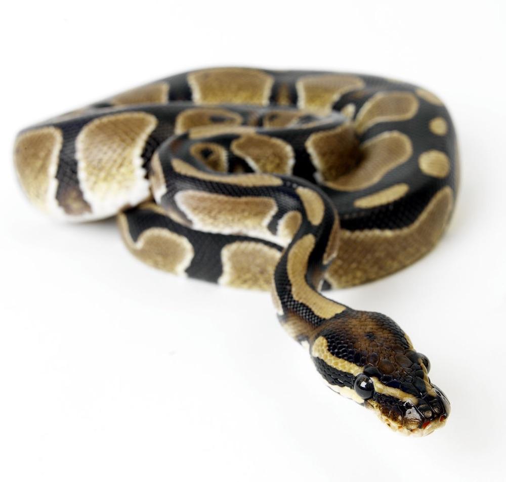 Royal python (Python regius). Photo Animal Ark / Simon Murrell